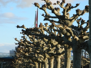 Trees in Mainz