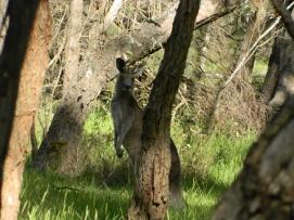 Kangaroos in Lysterfield Park