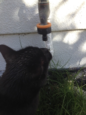 My Cat Drinking