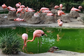 Flamingoes at San Diego Zoo