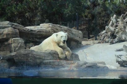 Polar Bear at San Diego